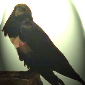 Corbeau et bête garçon crochet jusqu'à